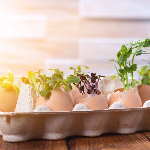Microgreen sprouts in eggshells in a cardboard tray. Easter decorations. Easter egg. Stylish rural still life. Zero Waste Concept.
